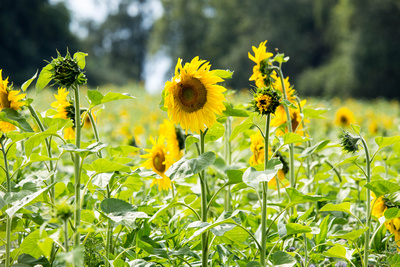 Sunflowers Radiate Gold in September (Childhood Cancer Awareness Month)